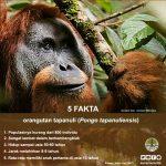 infografis-orangutan-1