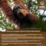 infografis-orangutan-2