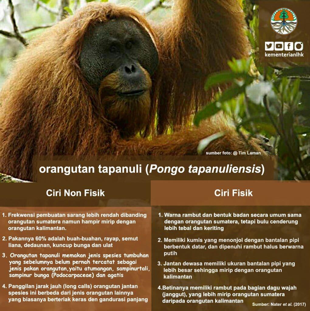 Spesies Baru Orangutan di Sumatera: Orangutan Tapanuli (Pongo Tapanuliensis)