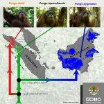 infografis-orangutan-4