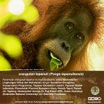 infografis-orangutan-6