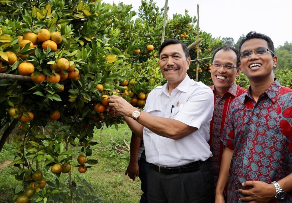 Menko Luhut Meninjau Perkebunan Jeruk Milik Warga di Kabupaten Humbang Hasundutan