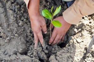 Kemenko Maritim Tanam 100 Mangrove Di Aceh