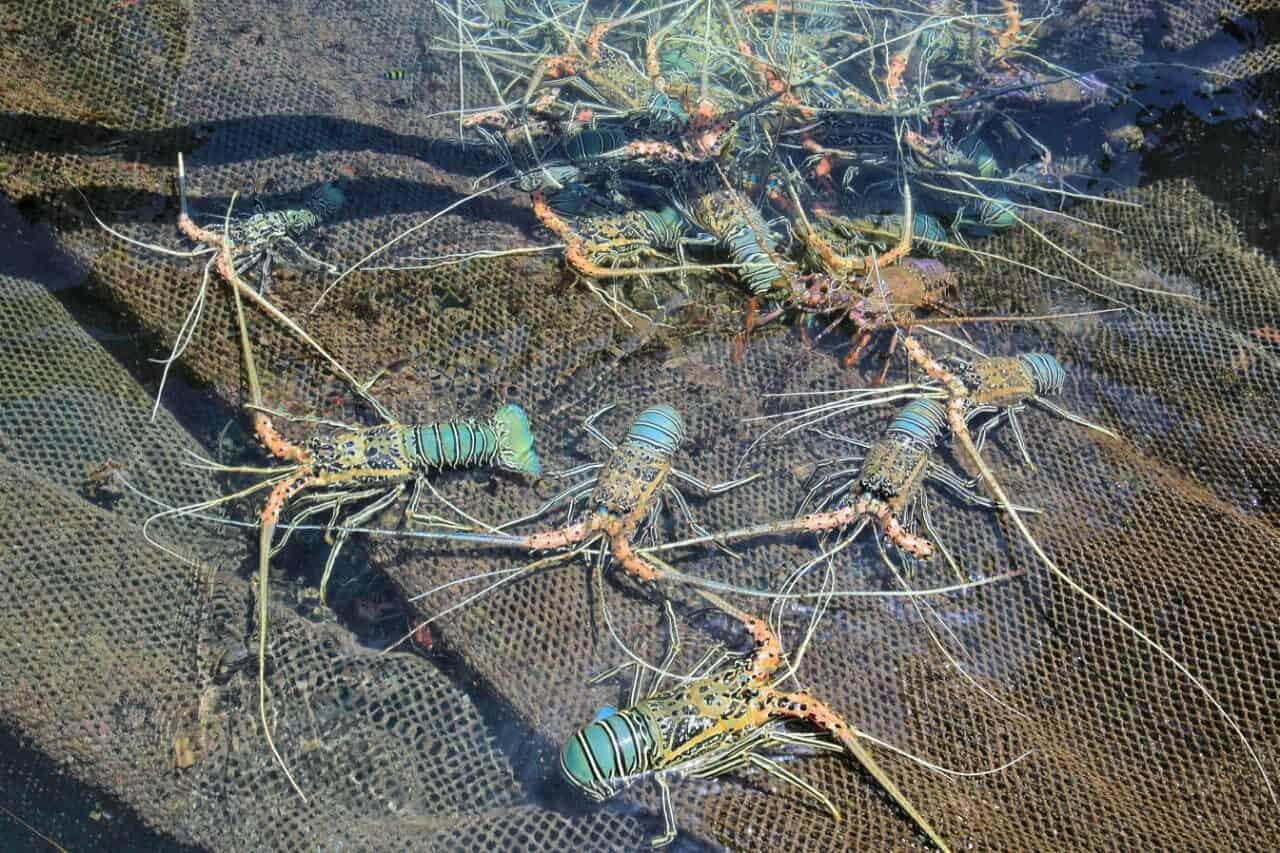 Optimalisasi Produksi Lobster Budidaya, Kemenko Marves Dukung Peningkatan Teknologi Sarana Budidaya