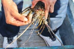 Targetkan Jadi Sentral Dunia, Pemerintah Optimalkan Industri Lobster di Lombok